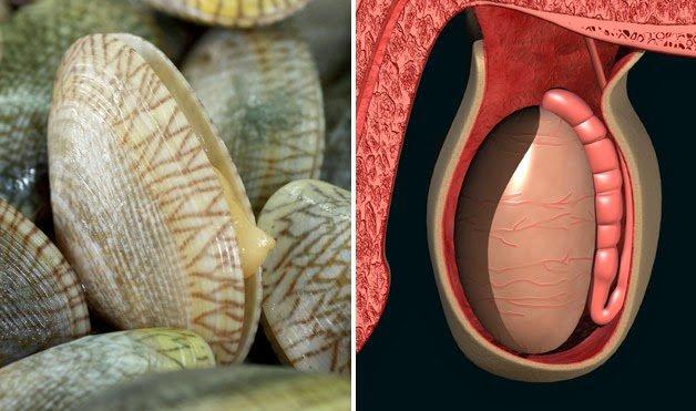 моллюски для мужской половой железы