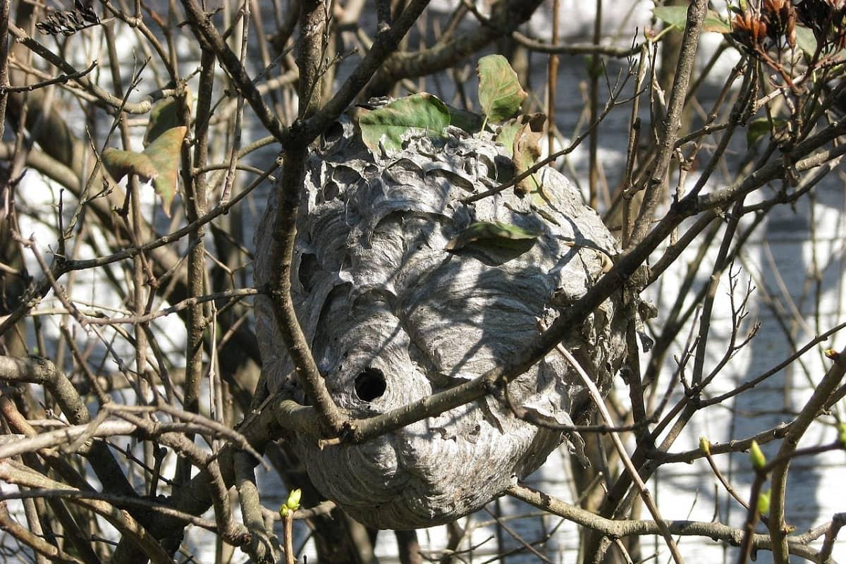 Зачем отцу доставать осиное гнездо и показывать сыну, как оно устроено гнездо, живут, очень, лучше, гнезда, посмотреть, случаях, самых, внутри, моего, Однако, которые, осиного, детенышей, обнаружили, осиное, родители, отнесли, обратно, Надеюсь