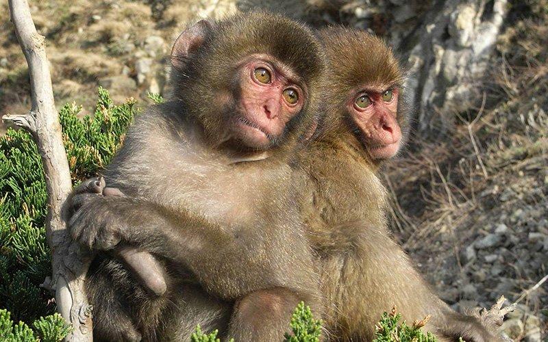 пара обезьян