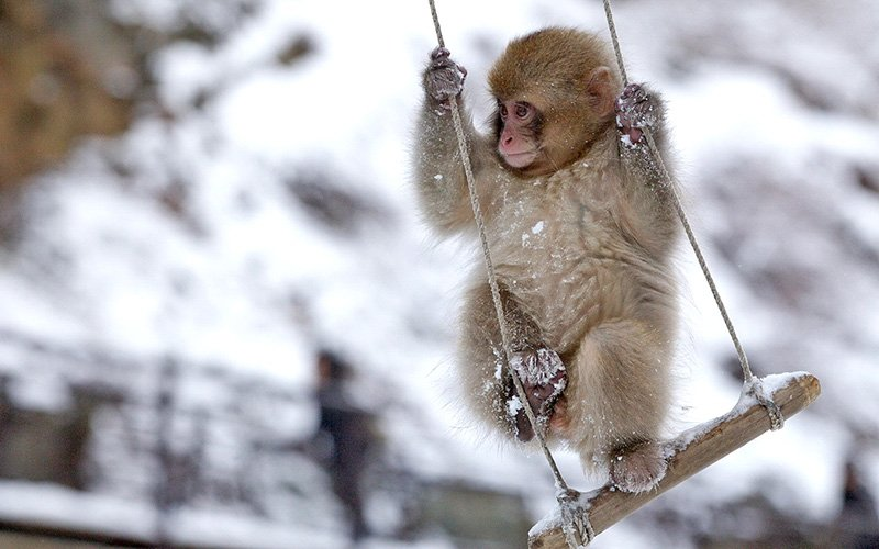 обезьяна катается