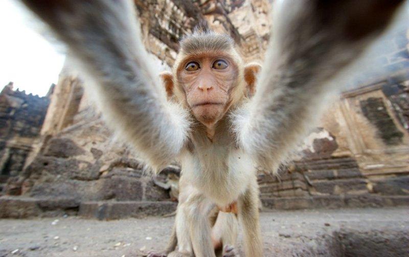 обезьяна селфи