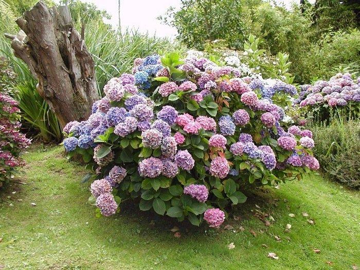 гортензия садовая дома