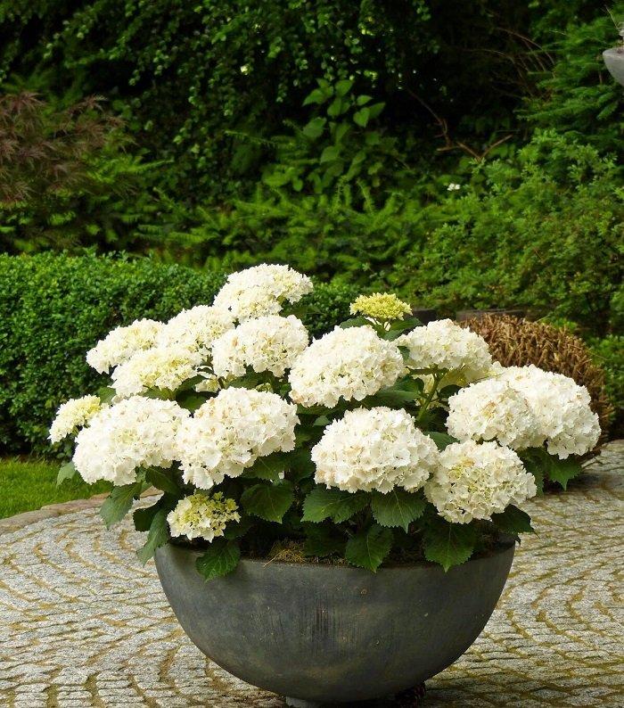 гортензия садовая в домашних условиях