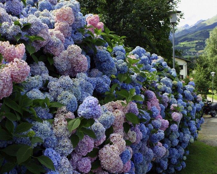 гортензия садовая уход и выращивание