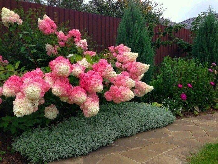 гортензия садовая как ухаживать