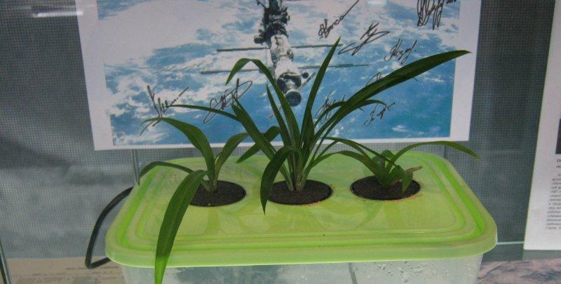 как рассадить хлорофитум
