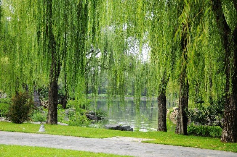ивовое дерево