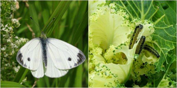борьба с гусеницами на капусте