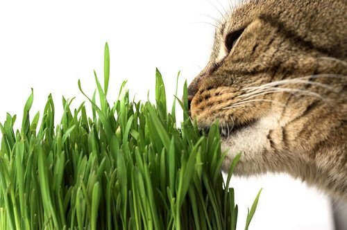 кот и зелень