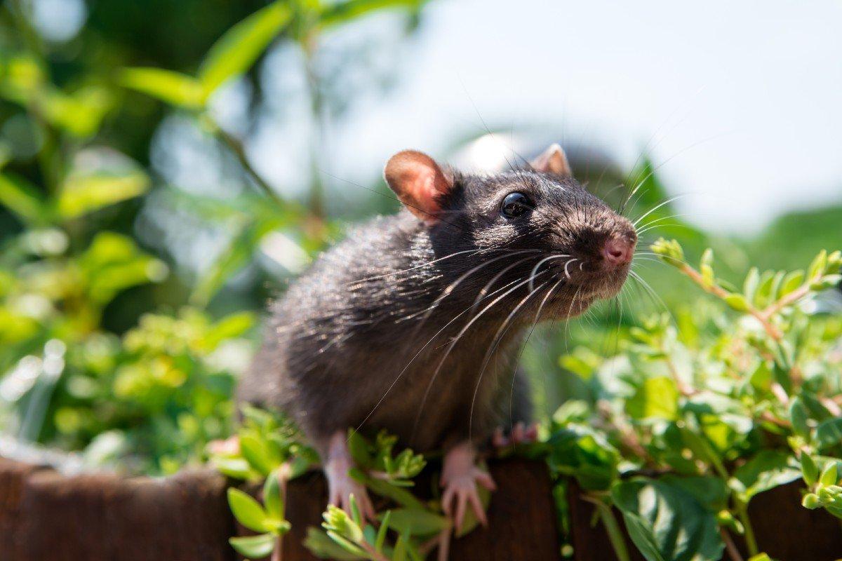 Что придумали старожилы Урала, чтобы мыши и крысы покинули селенья навечно