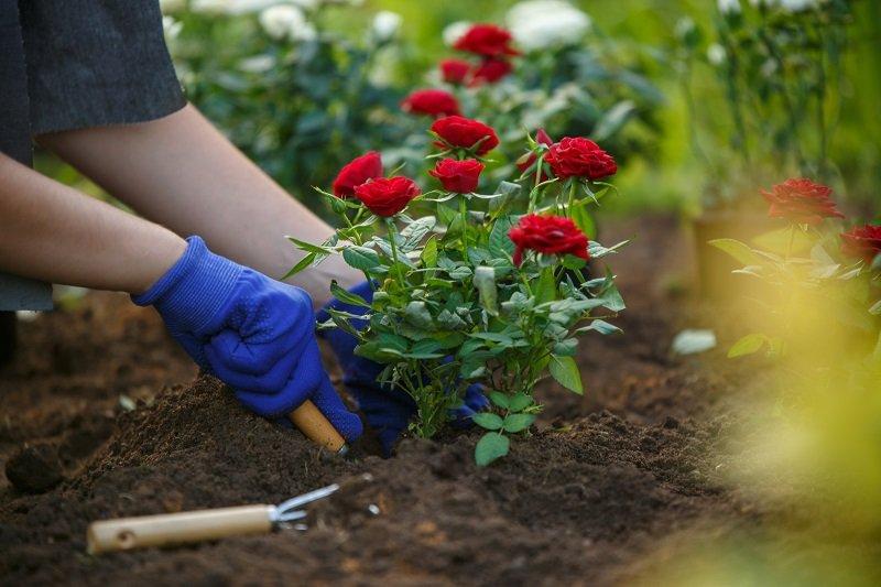 как избавиться от тли на розах и других цветах