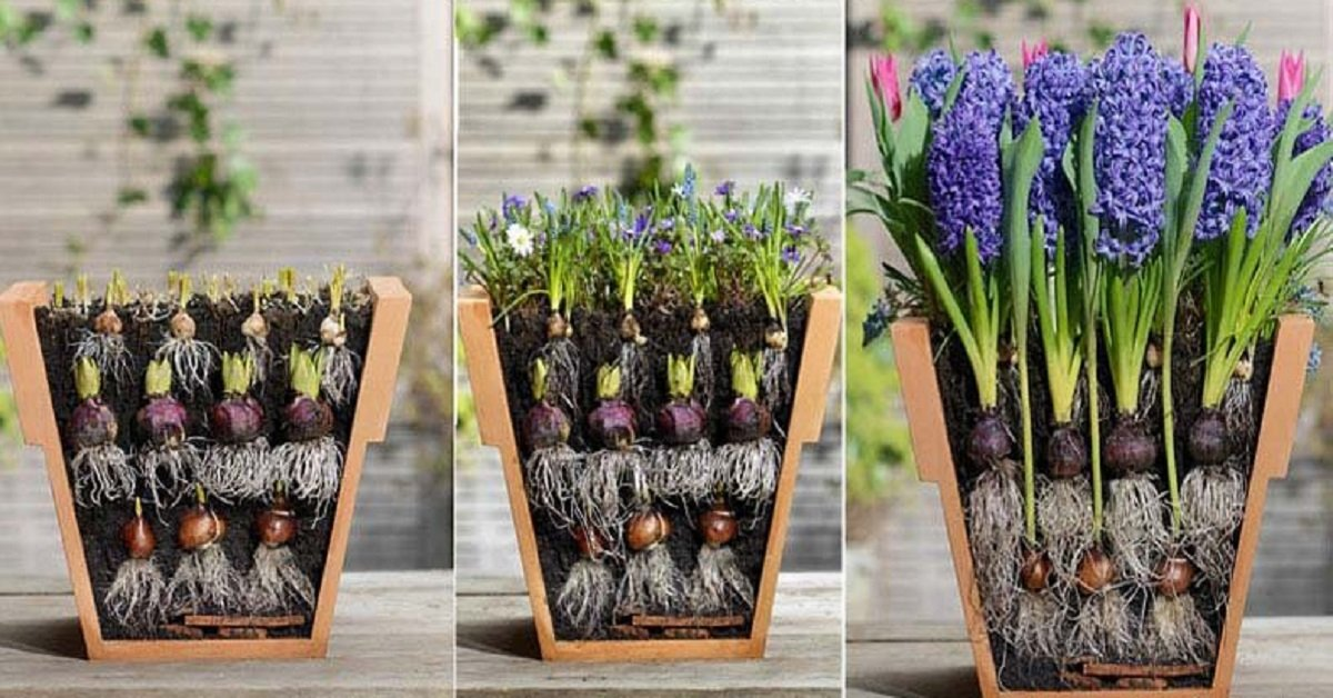 Как правильно сажать луковичные цветы дома в горшок 70