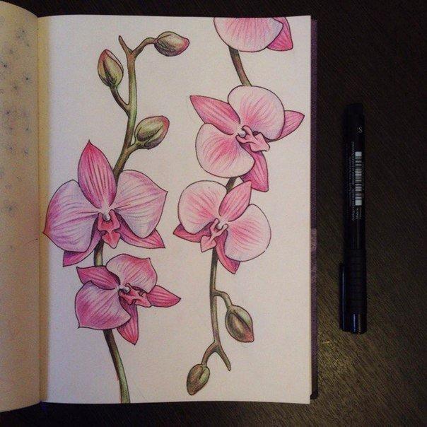 Рисунок карандашом орхидея