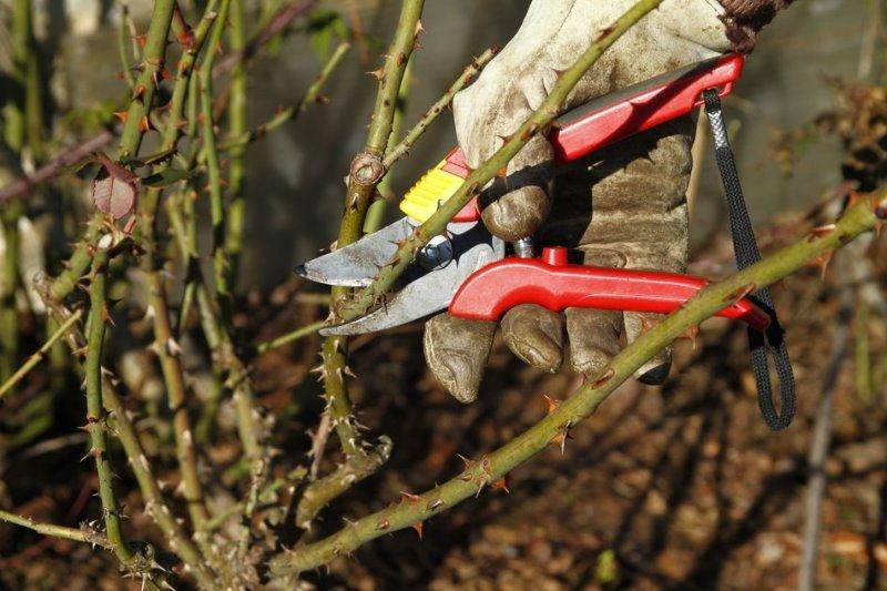 как обрезать розы вьющиеся