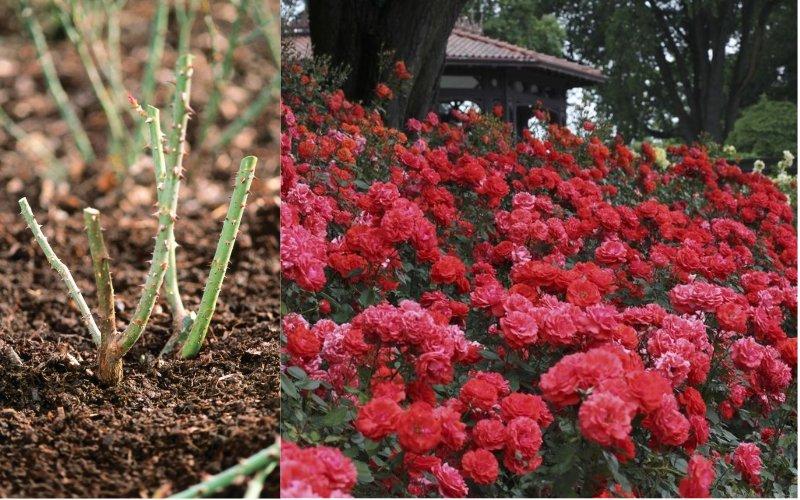 как обрезать розы после зимы