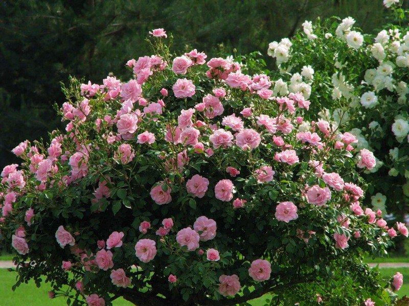 как обрезать розы весной после зимы