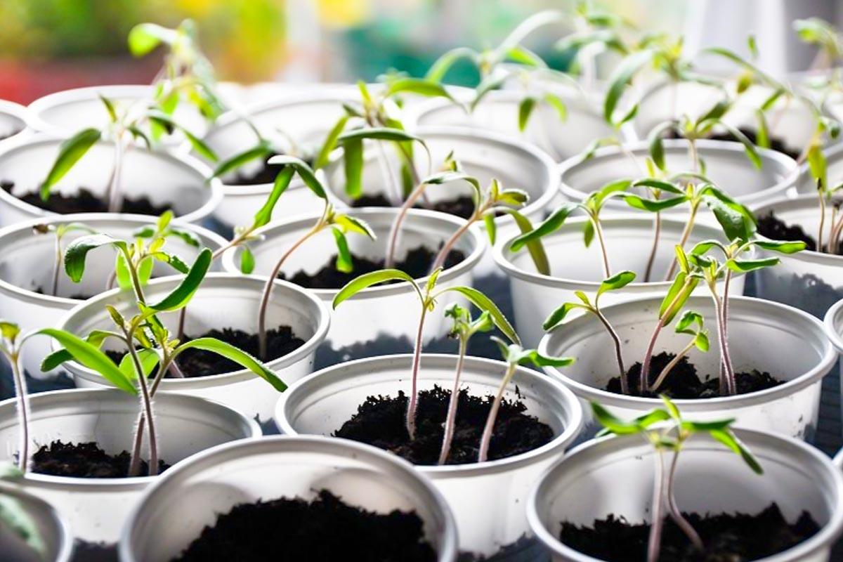 Чем поливать рассаду, чтобы росла богатырской