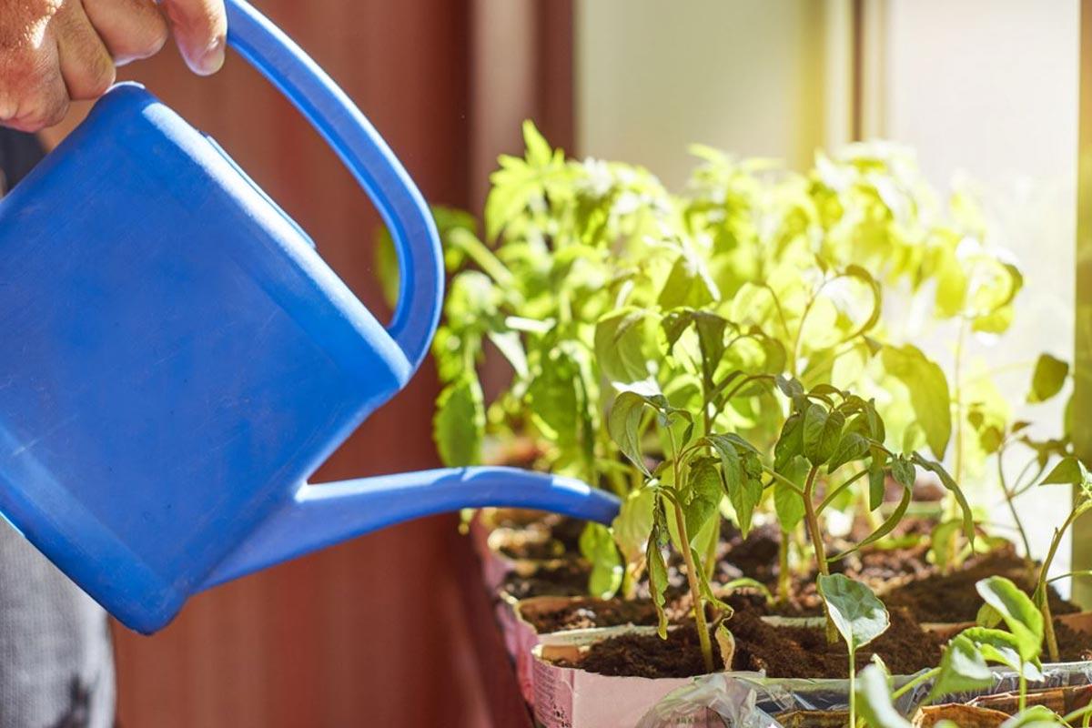 Чем поливать рассаду, чтобы росла богатырской Вдохновение,Советы,Подкормка,Полив,Рассада,Растения