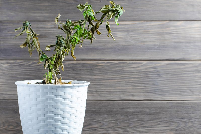 Почему растения чахнут и как им помочь