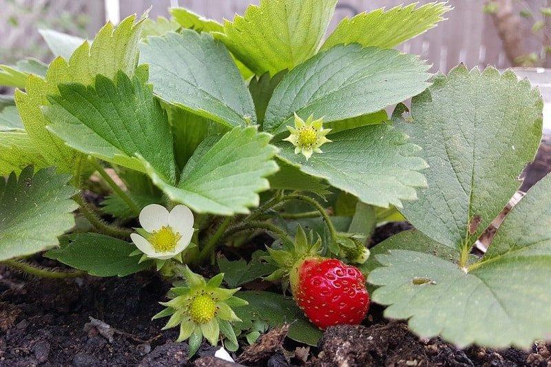 Как посадить клубнику в августе, чтобы она дала отличный урожай