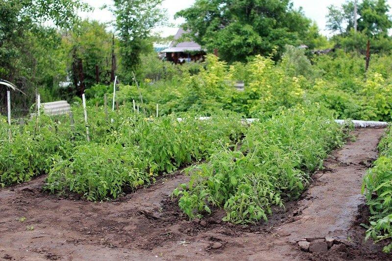 Правила посадки помидоров осенью, чтобы за зиму они набрались сил