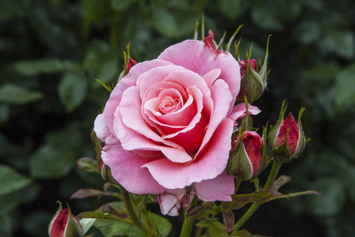 Правила посадки роз в открытый грунт весной Советы,Дача,Растения,Розы,Сад,Цветы
