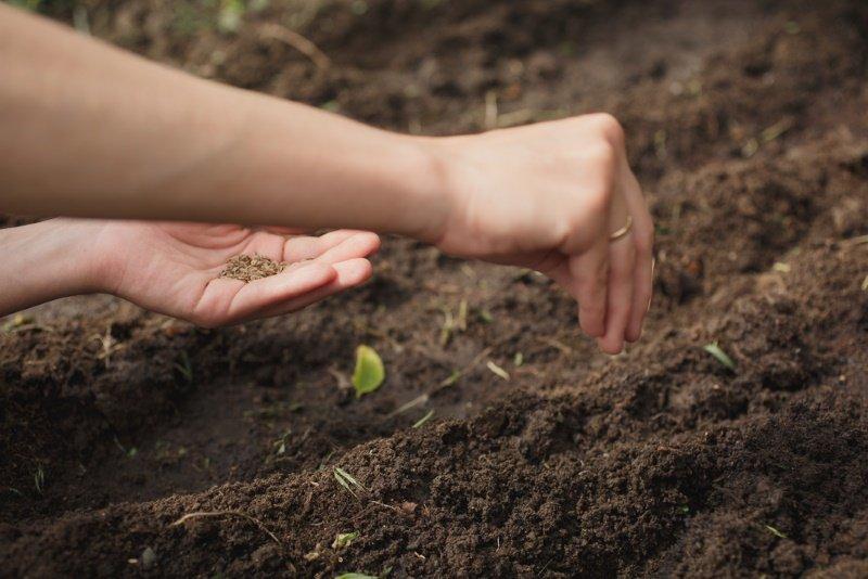 Как посадить укроп