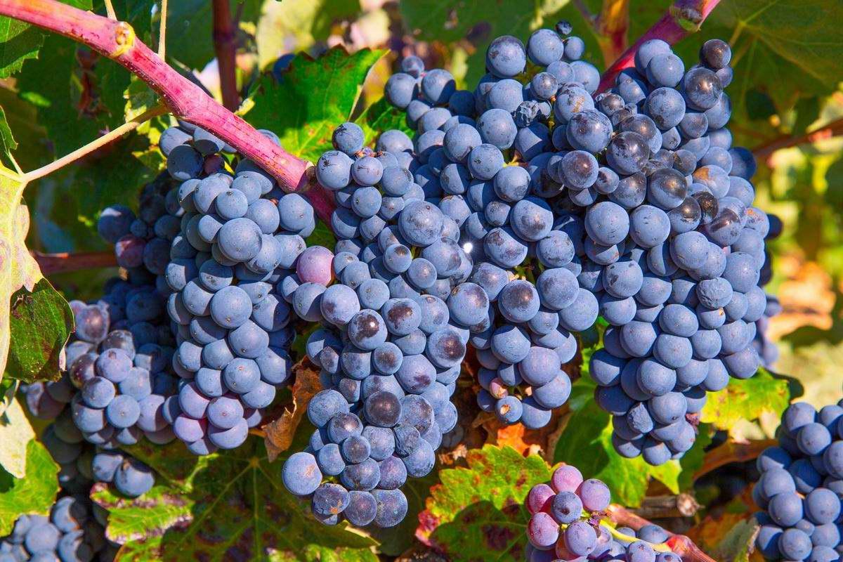 Что посадить рядом с виноградом, чтобы обильные гроздья тяжело свисали