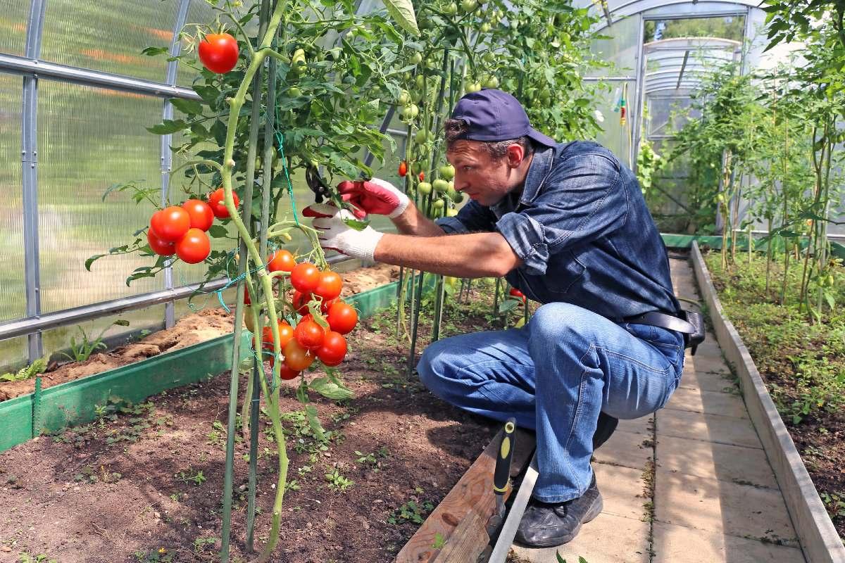 Как провести жесткую обрезку помидоров в августе, чтобы не потерять урожай