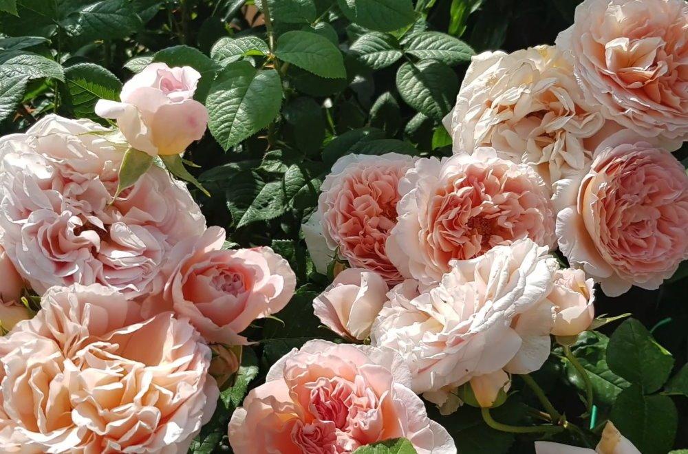 Грамотная обрезка роз после цветения
