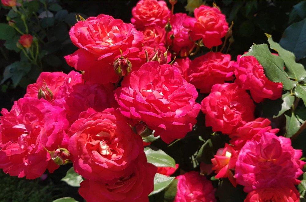 Грамотная обрезка роз после цветения Вдохновение,Советы,Клумбы,Кусты,Лайфхаки,Розы,Садоводство,Цветы