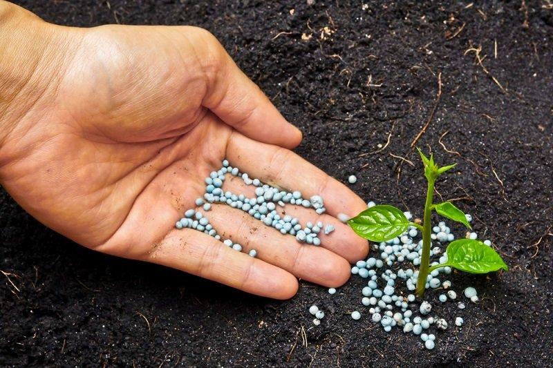 выращивание имбиря в открытом грунте украина