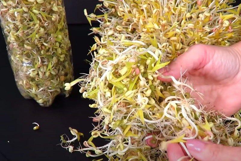 Зачем проращивать зеленую фасоль маш Вдохновение,Советы,Бутылки,Идеи,Питание,Растения,Фасоль