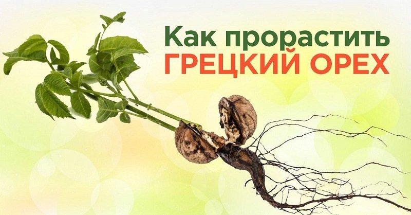 как прорастить грецкие орехи