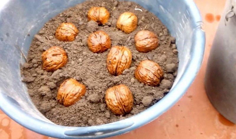 как вырастить грецкий орех дома