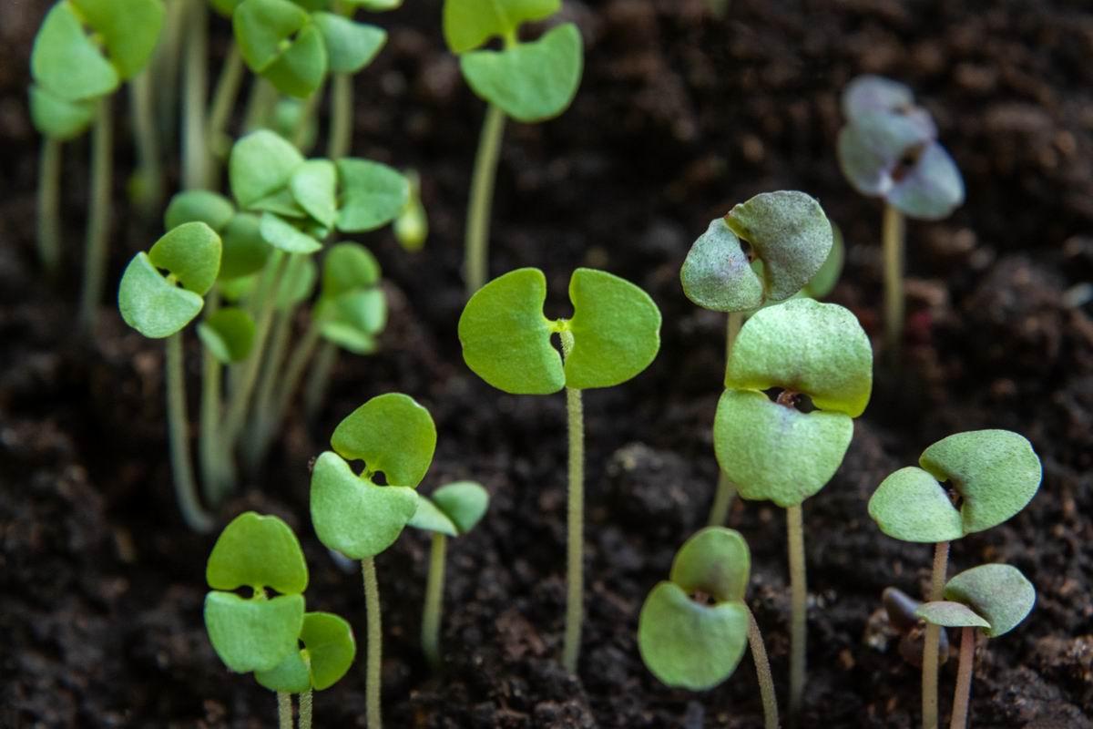посадка проросших семян