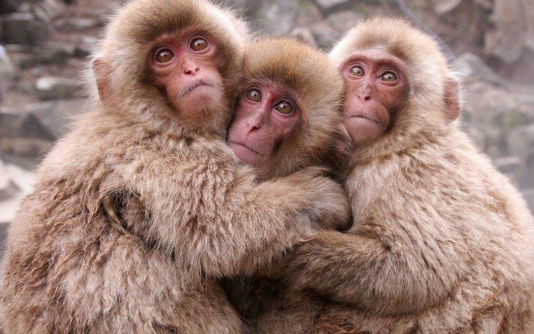 обезьянки обнимаются