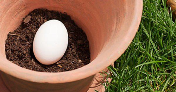 Этот мужчина закапывает обычное яйцо в почву. Результат — настоящее открытие для всех садоводов!