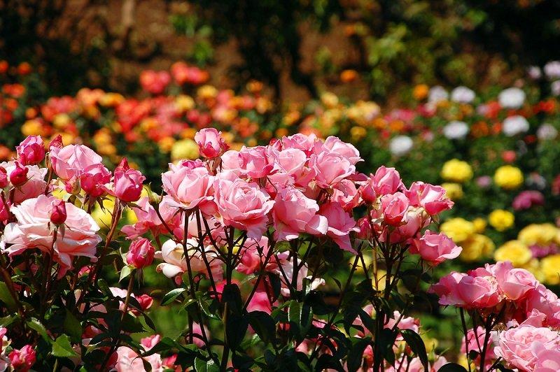 как укоренить розу из букет