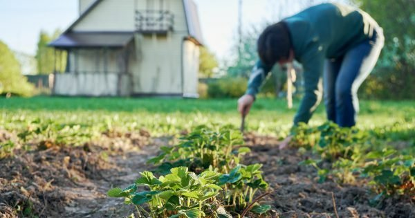 Woman weeding the strawberry beds in the garden with a country house on the background at springtime