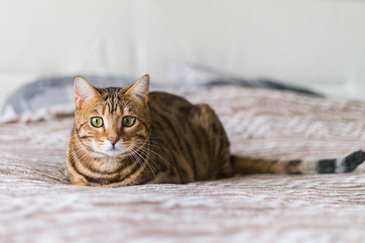 Чистоплотные породы кошек, что не будут пахнуть и линять