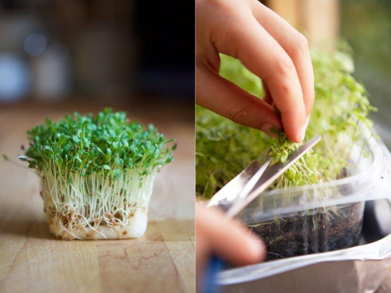 как вырастить зелень на подоконнике без земли