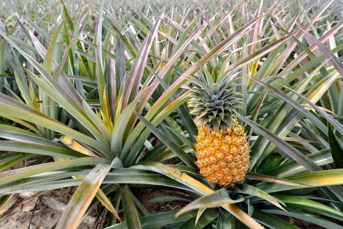 саженец ананаса
