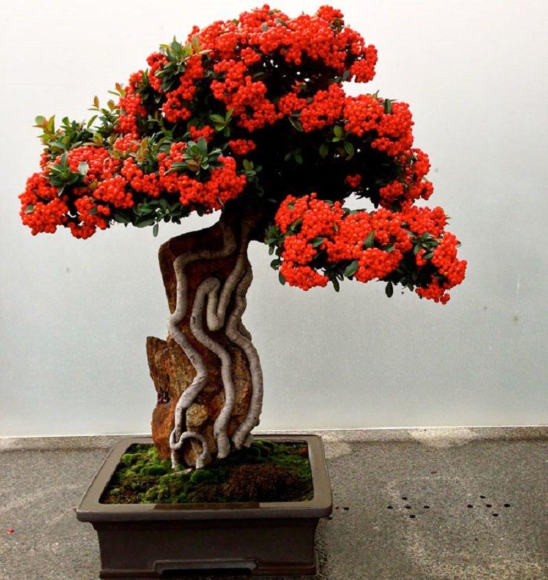 пираканта бонсай