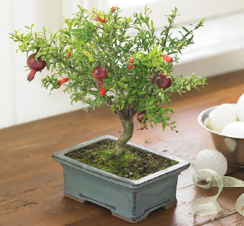 гранатовое дерево бонсай