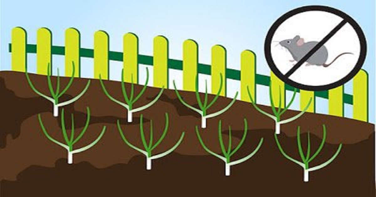 Как вырастить чеснок на грядке: лучшие рекомендации для садоводов-любителей.