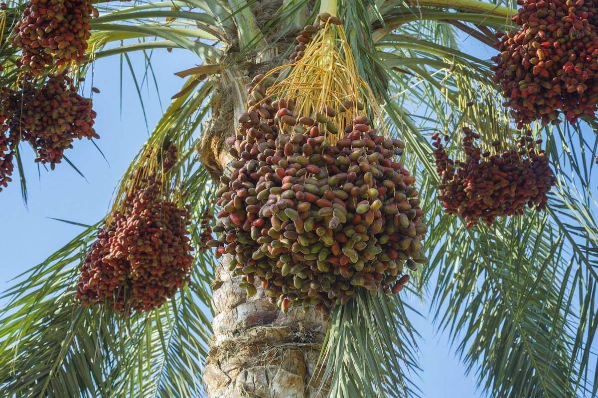 Финиковая пальма из косточки и как ее вырастить в домашних условиях Советы,Квартира,Лайфхаки,Растения,Финики