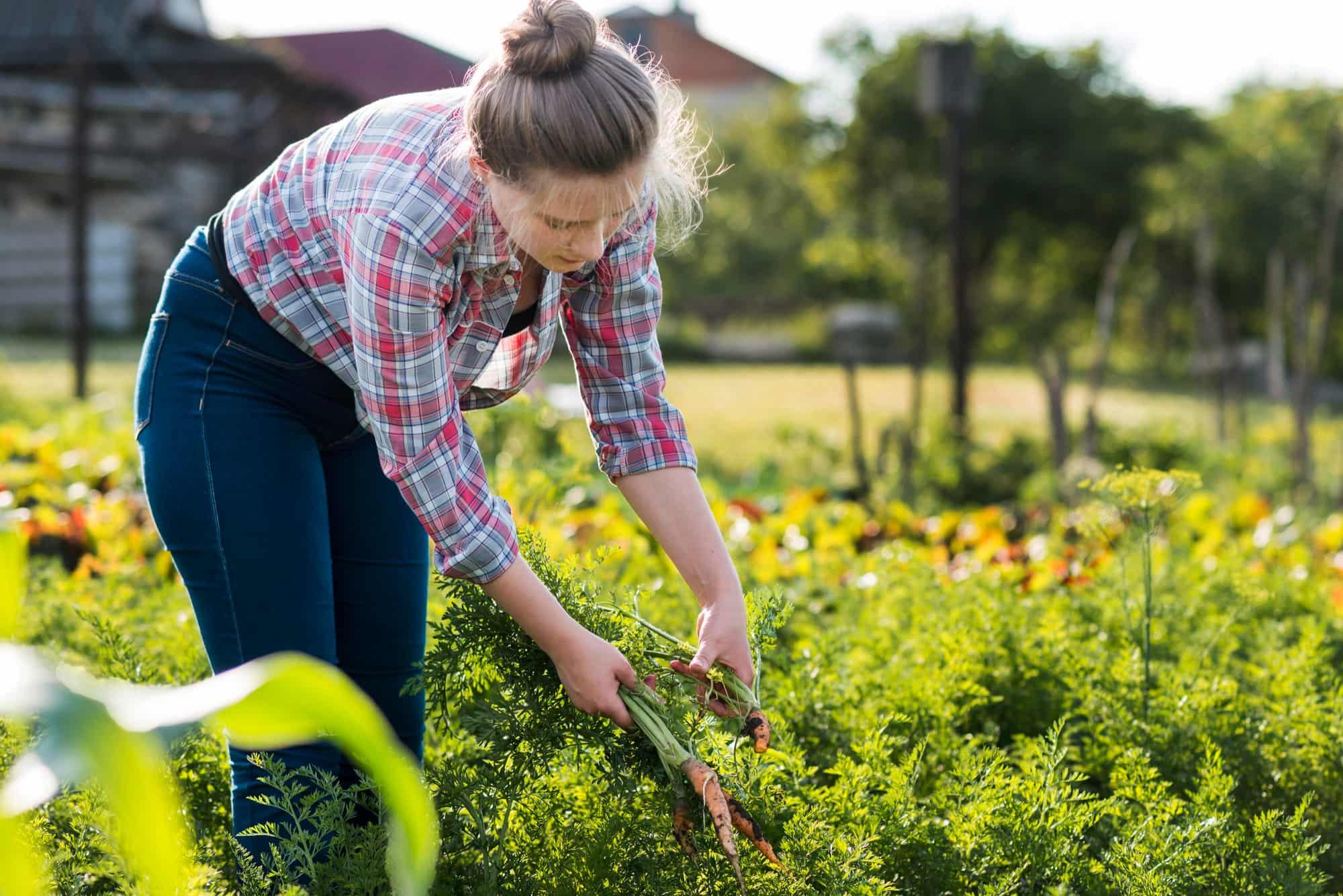 Слабый фиолетовый раствор вырастит крепкую и сочную морковь Советы,Морковь,Овощи,Огород,Рассада,Урожай,Хозяйство