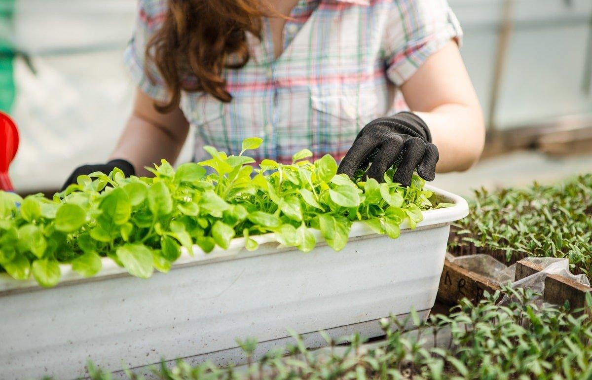 томаты рассада выращивание
