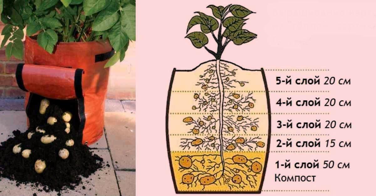 Выращивание картофеля дома 24